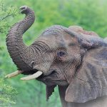 Elefant_ikarus_klein