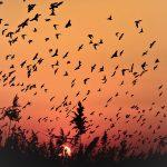 Vogelschwarm Abendsonne